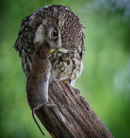 European Little Owl