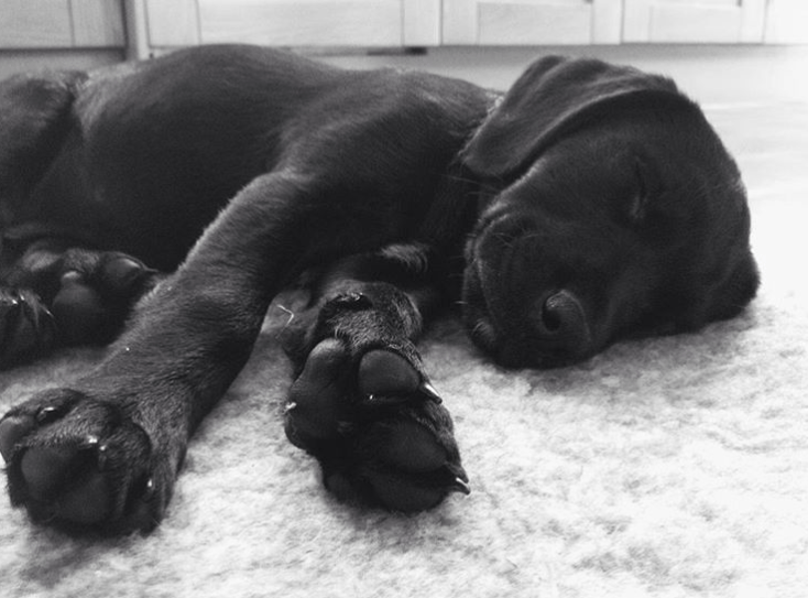 Sleeping Black Lab Labrador Puppy